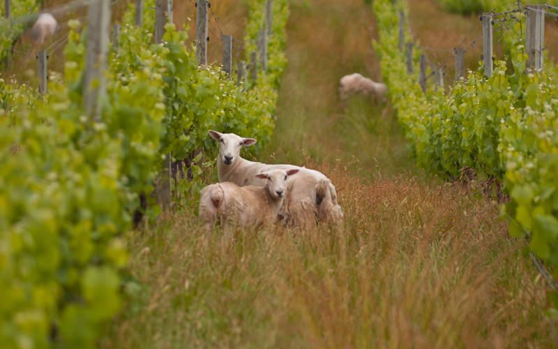 naravi prijazno vinogradništvo